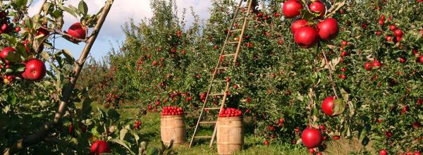 jabłka, sad, dieta